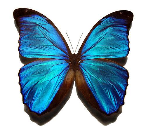 500px-Blue_morpho_butterfly